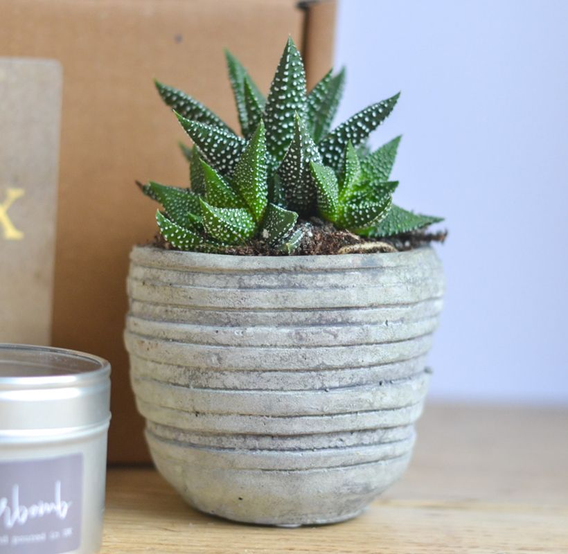Fresh Succulent - Grey Stone